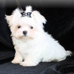 Designer Puppies Morkies Maltipoos Red Maltipoos And More