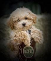 Designer puppies, morkies, maltipoos, red maltipoos, and more